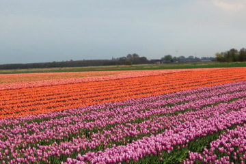 WHAT DUTCH TULIP FARMERS CAN TEACH US ABOUT SAYING NO